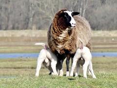 new born (BrigitteE1) Tags: lämmer lambs newborn lämmchen lambkin frühling spring ostern easter