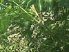 Melia azedarach, Indian lilac, ശീമവേപ്പ് (cpmkutty) Tags: meliaazedarach indianlilac ശീമവേപ്പ് deciduous tree alternate petiole drupe