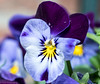 violet (peterpj) Tags: veilchen viooltje violet supermacrotakumar macro sony a6300 salonpolski