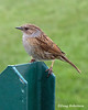 Dunnock (DougRobertson) Tags: dunnock hedgesparrow bird birdwatcher animal nature wildlife charmouth dorset coth5