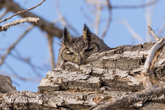 Great Horned Owl naps on her nest