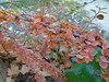 Ligustrum japonicum ● Ligustrum japonicum rotundifolium (sftrajan) Tags: jardínbotánico madrid botanicgarden españa ciudaduniversitaria ligustrumjaponicum waxleafprivet ネズミモチ oleaceae autumn otoño realjardínbotánicoalfonsoxiii jardimbotânico botanischergarten botanicalgarden botaniskträdgård botaniskhave botanischetuin ligustrumjaponicumrotundifolium jardinbotanique ботаническийсад espanha espanya espagne मद्रिद マドリード 마드리드