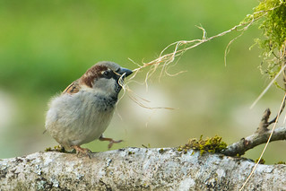 Moineau domestique (Passer domesticus - House Sparrow)