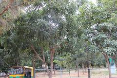 Swietenia macrophylla_Bengaluru Madiwala Tank1 (Alka Khare) Tags: swietenia meliaceae