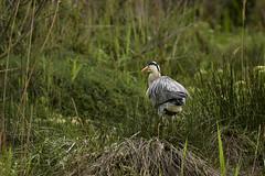 le Héron en balade (Doriane Boilly Photographie Nature) Tags: héron camargue balade nature birds