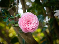 P1042733 (dmc_fz7_az) Tags: japanese camellia