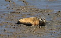 IMG_5797 cr (janharper) Tags: seals crouch roach estuaries leigh camera club