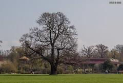 "Leipzig, Rosental, ""Friedenseiche"" (joergpeterjunk) Tags: leipzig rosental natur outdoor auwald baum eiche friedenseiche canoneos50d canonefs1785mmf456isusm"