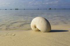 Avarua beach, a 17.081 Kms de distancia. (Victoria.....a secas.) Tags: islascook rotoronga avarua beach playa concha shell