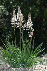 Asphodèles (Mireille Muggianu) Tags: asphodelusalbus asphodèleblanc bouchesdurhone europe france provencealpescotedazur vauvenargues fleur nature plantes samsungnx nx500