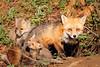 Foxes in Cynwyd (Beth Bennett & Gérard Cachon) Tags: foxes fox vixen den kit pup bala cynwyd trail pennsylvania cub specanimal