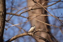 Tree with Downy Woodpecker (Run2Find) Tags: coonrapidsdamregionalpark city nature challenge 2018citynaturechallenge picoidespubescens downywoodpecker