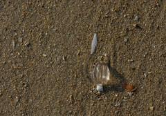 Stranded sea gooseberry. (Azariel01) Tags: 2018 oostduinkerke belgique belgie belgium plage beach sand sable mer sea zee noordzee northsea merdunord groseilledemer pleurobrachiasp seagooseberry stranded échoué