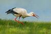 Der Klapperstorch (Ralph Budke-Naturmakros) Tags: storch störche vogel birds bird natura natur wasser fressen naturmakros wildlife