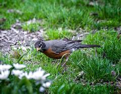 Worm Listener (Portraying Life, LLC) Tags: dbg6 hd14tc k1mkii michigan pentax ricoh unitedstates bird closecrop handheld nativelighting dfa150450mmf4556 dusk foraging
