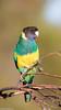 Australian Ringneck (Barnardius zonarius) (BenParkhurst) Tags: 2018 aves benparkhurst barnardiuszonarius 28 midwestwa perched parrot animal outdoor outback australianringneck wild wildlife colour fauna common bird eurardy wa green eurardyreserve yellow australia portlincolnparrot