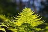 Back lit fern (JSB PHOTOGRAPHS) Tags: jsb4116 backlit fern hendrickspark eugeneoregon nikon d3 28300mm bluesky
