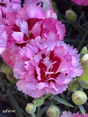 "May Flowers (EDWW day_dae (esteemedhelga)™) Tags: garden nature season flower splants bloom botany nursery parks blossom perennial annual bud cluster floret efflorescence seedling biennial greenery bouquet posy rosette natura mothernature greatmotherdamenature"" vegetation horticulture flora botanical juncture natural beauty creation siring passion sprout esteemedhelga edww daydae"