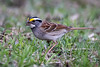 White-throated Sparrow (jrp76) Tags: minneopastatepark whitethroatedsparrow zonotrichiaalbicollis bird brown white black yellow