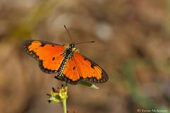 Dancing Acraea/Kleinoranje-rooitjie (leendert3) Tags: leonmolenaar wildlife southafrica krugernationalpark nature butterfly ngc npc