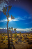 _DSC8099 (andrewlorenzlong) Tags: joshua tree national park joshuatree joshuatreepark joshuatreenationalpark california desert