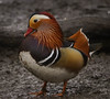 Mandarin duck (xDigital-Dreamsx) Tags: bird nature wildlife waterfowl duck water loch lake