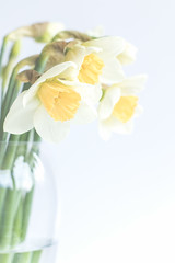 90/365: Daffodowndilly... [Explored] (judi may) Tags: 365the2018edition 3652018 day90365 31mar18 daffodils flowers spring springflowers yellow vase soft softness highkey white whitebackground canon7d 50mm dof depthoffield bokeh