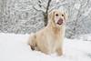 Miam la neige! (gisèlerichardet) Tags: neige snow chien dog golden retriever langue rose blanc flocons