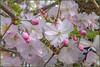 7 aprile 2018 (adrianaaprati) Tags: flowers cherrytree branch tree blooming park april pink white macro blur