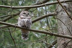 Barred Owl (Jesse_in_CT) Tags: barredowl nikon200500mm