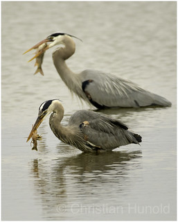 competitive eating, heron-style