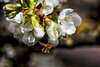 Cible en vue! (jjcordier) Tags: insecte vol abeille cerisier