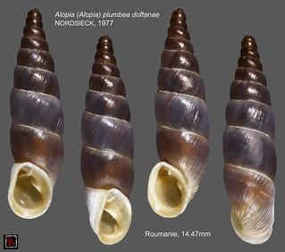 alopia (alopia) plumbea doftanae roumanie 14mm47