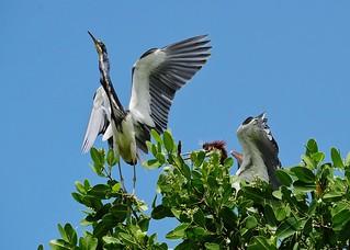 Tri-Colored Herons (Egretta tricolor)