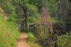 Approaching the Bridge (buffdawgus) Tags: spring bridgeport sierranevadafoothills canon70200mm28l canon5dmarkiii lightroom6 topazsw landscape buttermilktrail southyubariverstatepark nevadacounty springtime