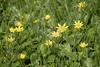 Scharbockskraut - Ficaria (Jo&Ma) Tags: closeup makro nahaufnahme outdoor gelb grün schweiz aufblühen bestäubung blühen blume blüte botanik pflanzen frühling garten knospe kraut magerwiese natur verblüht waldblume waldrand wiese wiesenblume