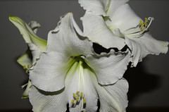 Amaryllis (Stefano Dorigo) Tags: amaryllis flower fiore bianco white