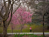 """Sing """"It's Spring"""" (Mildred Alpern) Tags: passerby youth singing spring trees branches grass flowers cherryblossoms outdoors boy walker fence centralpark path"""