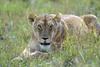 Tensa calma (David Perez Lopez) Tags: león leon pantheraleo áfrica africa kenia kenya mara masáimara masaimara masai nikon d4s 200400vrii