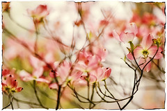 Pink Dogwood (jeanne.marie.) Tags: dogwood trees blossoms flowers floweringtrees spring branches