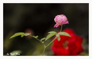 SHF_6008_Rose