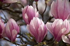 Roze Magnolia bloesem (ToJoLa) Tags: canon canoneos60d eindhoven lente voorjaar spring philipsfruittuin kleuren magnolia pink