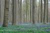 Bois de Hal__IGP6186_s (INABA Tomoaki) Tags: hallerbos bois de hal ハルの森 bluebell ブルーベル belgium belgië belgique belgien ベルギー outdoor plant flower landscape forest wood grass tree park