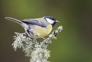 Chapim-Real I Great Tit