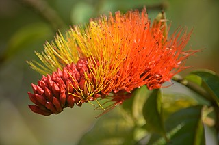 Combretum... better known as Monkey Brush