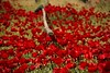 Nature's red carpet (jimiliop) Tags: flowers field nature poppies spring countryside red bold depthoffield dof flora 7dwf vineyards nemea