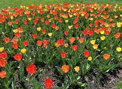 Sherwood Gardens (karma (Karen)) Tags: baltimore maryland sherwoodgardens parks gardens guilford flowers tulips brightcolors cliche hcs iphone cmwd topf25