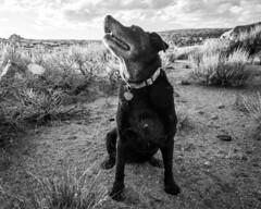 Sniff-Sniff (dwblakey) Tags: dogs california desert hiking blackandwhite monochrome bishop easternsierra unitedstates us