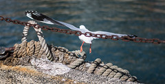 The chains of society can't stop you from reaching great heights (StefanKleynhans) Tags: seagul bird nikon d7100 50mm cockatoo island sydney nsw chains rope flight wings