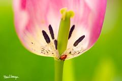 Ladybug & Tulip BC0A2096 (Maria Swearingen Photography) Tags: 2018 april festival oregon tulips woodburn farm ladybug ladybugs macro spring tulip